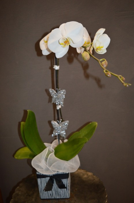Phalaenopsis - White - Large